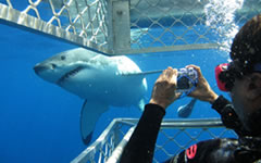 shark-cage-diving-tour cape town tours